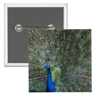 portrait, feathers, colorful, peacock, outdoors, 15 cm square badge