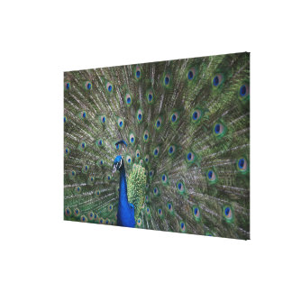portrait, feathers, colorful, peacock, outdoors, canvas print