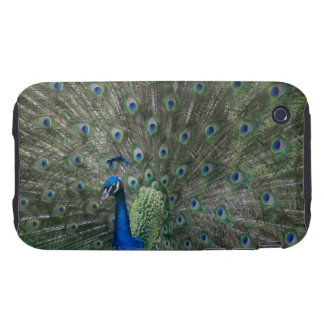 portrait, feathers, colorful, peacock, outdoors, iPhone 3 tough cases
