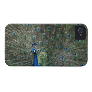 portrait, feathers, colorful, peacock, outdoors, iPhone 4 covers