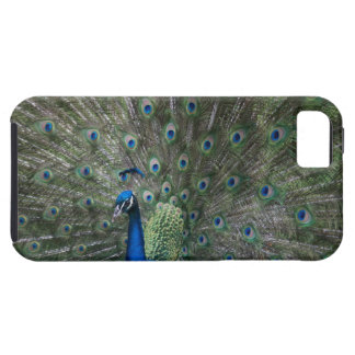 portrait, feathers, colorful, peacock, outdoors, iPhone 5 cover