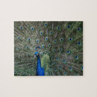 portrait, feathers, colorful, peacock, outdoors, jigsaw puzzle