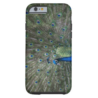 portrait, feathers, colorful, peacock, outdoors, tough iPhone 6 case