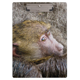 Portrait Of A Baby Olive Baboon (Papio Anubis) Clipboard