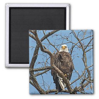 Portrait of a Bald Eagle 2 Inch Square Magnet