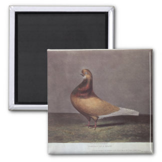Portrait of a Beard Pigeon Square Magnet
