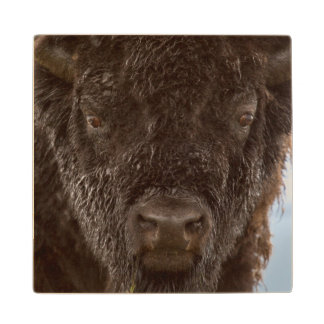 Portrait Of A Bison Bull In The Rain Wood Coaster
