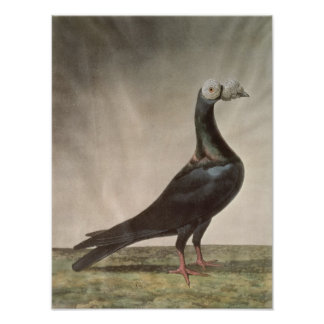 Portrait of a Carrier Pigeon Poster
