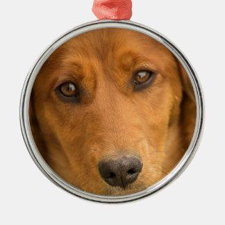 Portrait of a Dachschund puppy Christmas Ornament