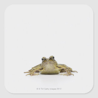 Portrait of a frog in a white studio stickers