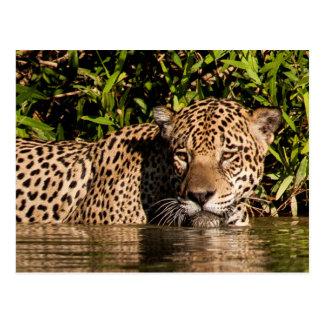 Portrait of a Jaguar Swimming Postcard