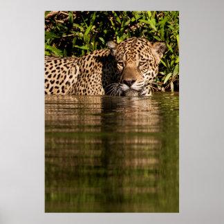 Portrait of a Jaguar Swimming Poster
