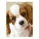 Portrait of a King Charles Spaniel puppy Postcards