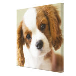 Portrait of a King Charles Spaniel puppy Stretched Canvas Prints