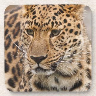 Portrait of a Leopard Coasters