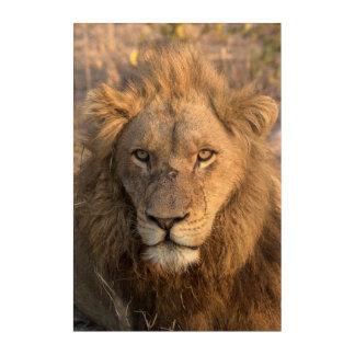 Portrait of a Male Lion Acrylic Print