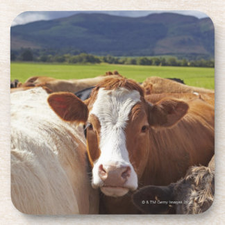 Portrait of a pair of cows in field in the coaster