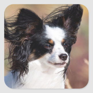 Portrait Of A Papillon Sitting In The Wind Square Sticker