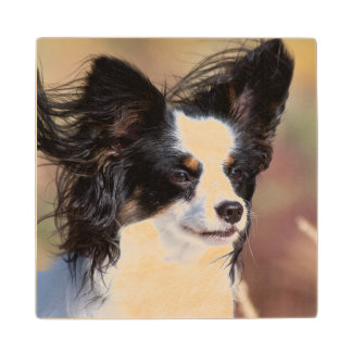Portrait Of A Papillon Sitting In The Wind Wood Coaster