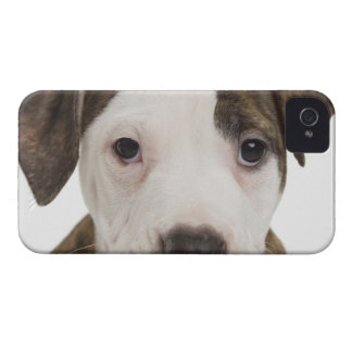 Portrait of a pitbull puppy iPhone 4 cases