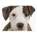 Portrait of a pitbull puppy postcard