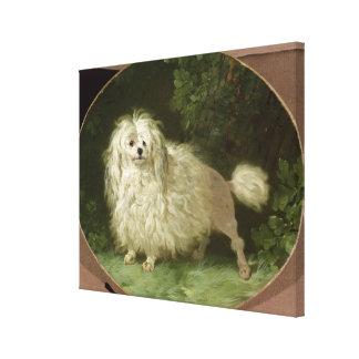 Portrait of a Poodle Canvas Print