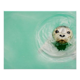 Portrait of a seal in water poster