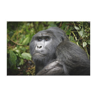 portrait of a silverback mountain gorilla stretched canvas prints