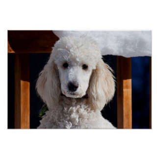 Portrait Of A Standard Poodle Poster