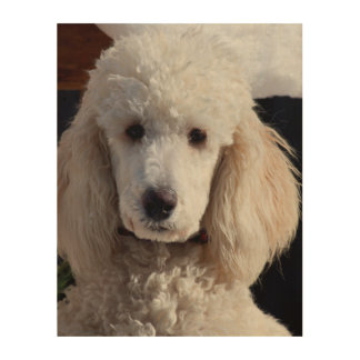 Portrait Of A Standard Poodle Wood Print