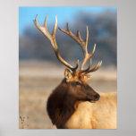 Portrait of a stunning bull elk poster