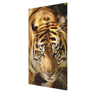 Portrait of a tiger canvas print