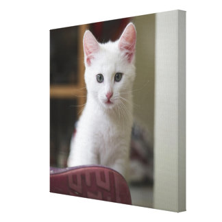 Portrait of a white kitten, Sweden. Canvas Print