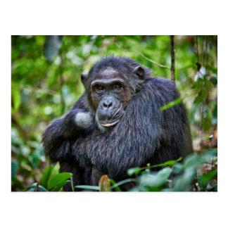 Portrait of a wild chimpanzee postcard