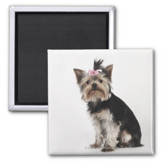Portrait of a Yorkshire Terrier dog Square Magnet