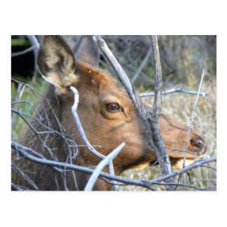 Portrait of a young elk postcard