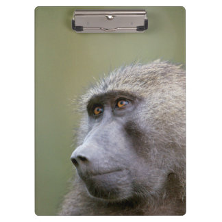 Portrait of adult Olive baboon (Papio anubis) Clipboard