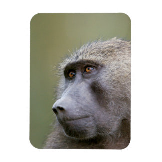 Portrait of adult Olive baboon (Papio anubis) Magnet
