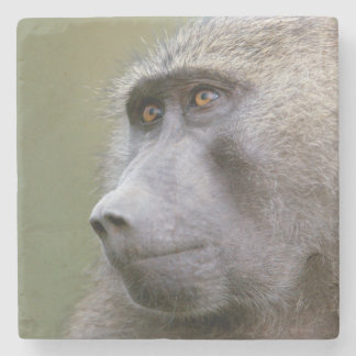 Portrait of adult Olive baboon (Papio anubis) Stone Beverage Coaster