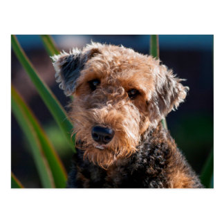 Portrait of an Airedale Terrier 1 Postcard