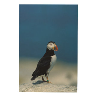 Portrait of an Atlantic Puffin Wood Canvas