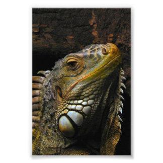 Portrait of an Iguana Photo