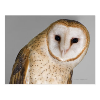 Portrait of barn owl (Tyto alba). Postcard