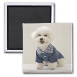 Portrait of Bichon Frise standing on table Square Magnet