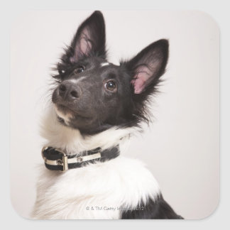 Portrait of black and white shetland sheepdog square sticker