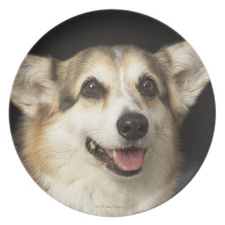 Portrait of black, brown and white Corgi Plates