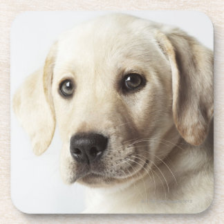 Portrait of blond Labrador Retriever Puppy Coaster