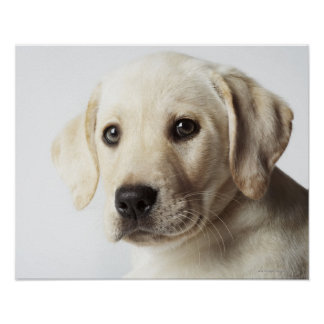 Portrait of blond Labrador Retriever Puppy Poster