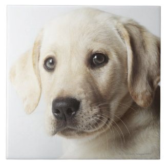 Portrait of blond Labrador Retriever Puppy Tile