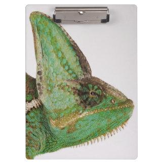 Portrait of boldly colored Yemen chameleon Clipboard